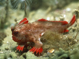 Red Handfish Photographic Print by Peter Scoones