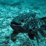 Coelacanth Fish Photographic Print by Peter Scoones