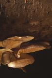 Oyster Mushrooms Reprodukcja zdjęcia autor Alan Sirulnikoff