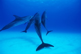 Atlantic Spotted Dolphins Photographic Print by Alexis Rosenfeld