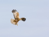Marsh Harrier Hunting Photographic Print by Duncan Shaw