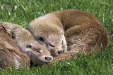 European Otters Photographic Print by Duncan Shaw