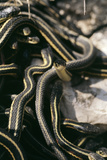 Snakes Mating Photographic Print by Alan Sirulnikoff