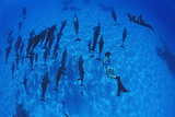 Diver with Spinner Dolphins Photographic Print by Alexis Rosenfeld