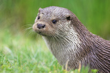 European Otter Photographic Print by Duncan Shaw