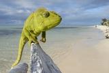 Female Oustalet's Chameleon Photographic Print by Alexis Rosenfeld