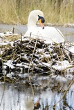 Mute Swan Sitting on a Nest In the Snow Prints by Duncan Shaw