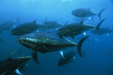 Longtail Tuna Fish Photographic Print by Peter Scoones