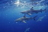 Blacktip Reef Sharks Photographic Print by Alexis Rosenfeld