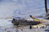 Mudskipper Photographic Print by Alexis Rosenfeld