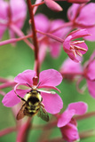 Bee Feeding on Fireweed Flower Photographic Print by Alan Sirulnikoff