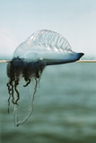 Portuguese Man-of-war Photographic Print by Peter Scoones