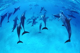 Spinner Dolphins Prints by Alexis Rosenfeld