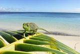 Female Oustalet's Chameleon Fotodruck von Alexis Rosenfeld