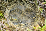 A Nest of Young Meadow Pipits Posters by Duncan Shaw