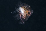 Amphipod Inside a Lion's Mane Jellyfish Photographic Print by Alexander Semenov