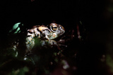 Western Toad Photographic Print by Alan Sirulnikoff