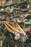 Stinky Squid Fungus Reprodukcja zdjęcia autor Alan Sirulnikoff