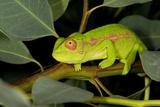 Madagascan Chameleon Fotografisk tryk af Alexis Rosenfeld