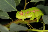 Madagascan Chameleon Photographic Print by Alexis Rosenfeld