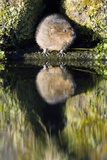 Water Vole Photographic Print by Duncan Shaw