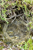 A Nest of Young Meadow Pipits Prints by Duncan Shaw