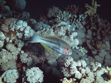 Wrasse Photographic Print by Peter Scoones