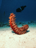 Sea Cucumber Photographic Print by Peter Scoones