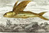 Flying Fish, 17th Century Artwork Photographic Print by Middle Temple Library