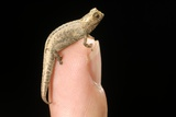 World's Smallest Chameleon Photo by Alexis Rosenfeld