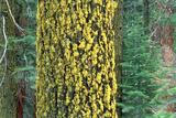 Lichens on Tree Reprodukcja zdjęcia autor Alan Sirulnikoff