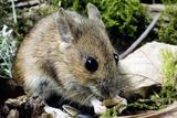 Wood Mouse Feeding Reprodukcja zdjęcia autor Duncan Shaw