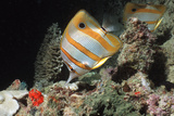 Copperbanded Butterflyfish Posters by Peter Scoones