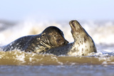 Grey Seals Photographic Print by Duncan Shaw