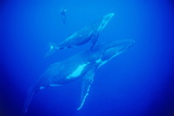 Humpback Whales with a Snorkeler Photographic Print by Alexis Rosenfeld