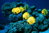 Masked Butterfly Fish Photographic Print by Peter Scoones