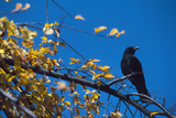 Crow Photographic Print by Alan Sirulnikoff