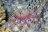 Crown-of-thorns Starfish Print by Alexander Semenov