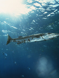 Great Barracuda Photographic Print by Peter Scoones