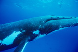 Humpback Whale Prints by Alexis Rosenfeld