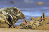 Grey Seal Aggression Photographic Print by Duncan Shaw