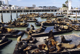 California Sea Lions Photographic Print by Alan Sirulnikoff