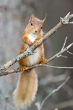 Red Squirrel on a Branch Papier Photo par Duncan Shaw