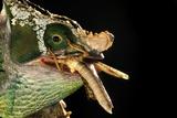 Male Parson's Chameleon Affiches par Alexis Rosenfeld