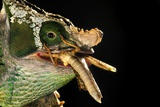 Male Parson's Chameleon Photographic Print by Alexis Rosenfeld