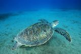 Green Sea Turtle Photographic Print by Alexis Rosenfeld