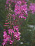 Rosebay Willow-herb Flowers Photographic Print by Alan Sirulnikoff
