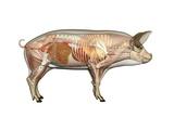 Pig Anatomy, Artwork Photographic Print by Friedrich Saurer