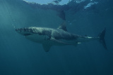 Great White Shark Photographic Print by Alexis Rosenfeld