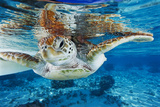 Green Turtle Photographic Print by Alexis Rosenfeld